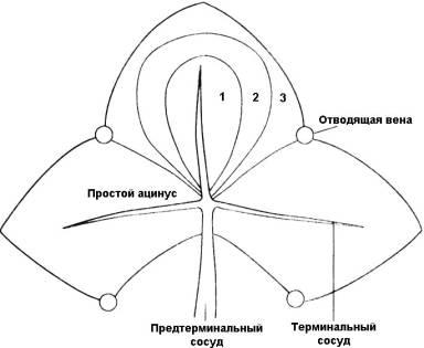 Функциональный ацинус (по