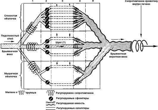 Схема микроциркуляции