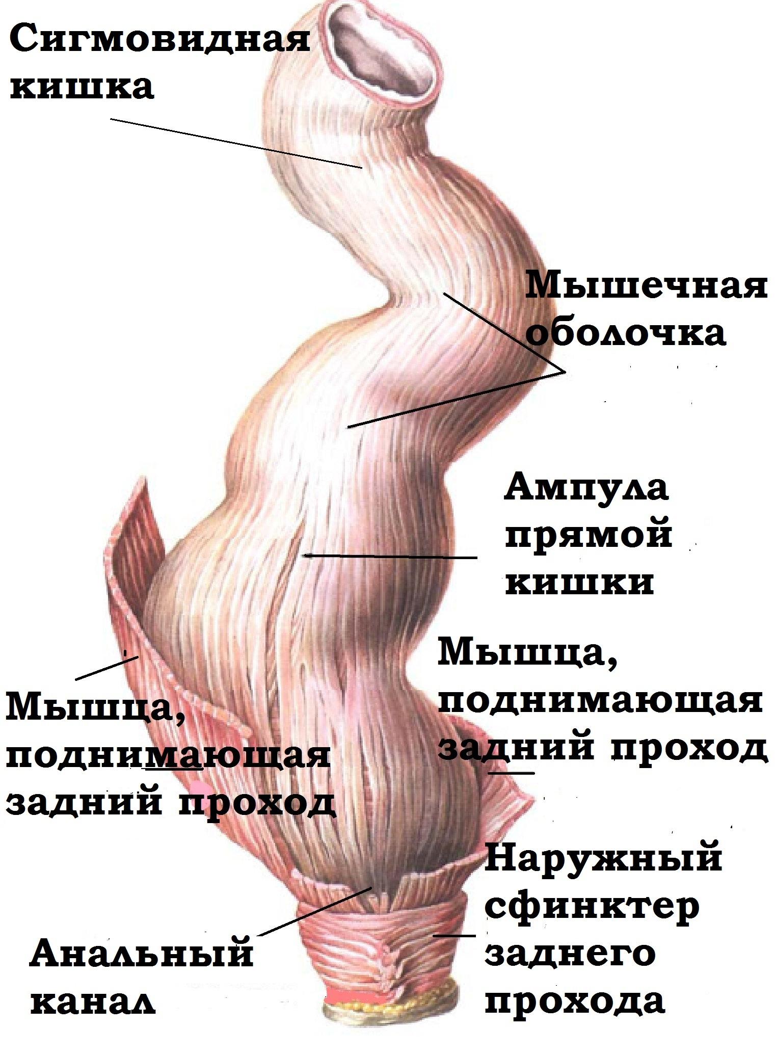 Кишка Передняя