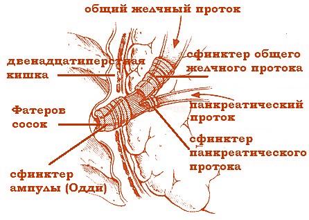 сфинктеры желчных протоков